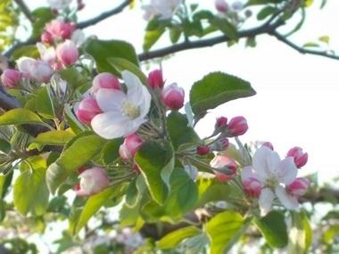 りんごの花.JPG